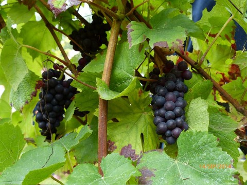 Bar Terroit Grapes